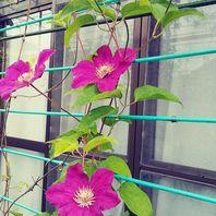 クレマチス(夏~秋咲き) 写真