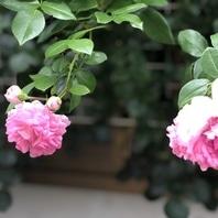 バラ(つるバラ) 写真