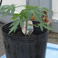育て パパイヤ 方 の パパイヤ(パパイア)の栽培まとめ!育て方のポイントや種まきは?