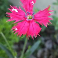 センノウの花