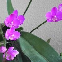 胡蝶蘭 8/4  順調に咲き進んでいます。