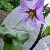 これも茄子の花ですが、中央に雌しべが...