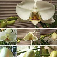 初めての胡蝶蘭のお花が咲くまで、嬉し...