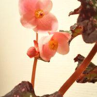 レックスベゴニア レッドロケットのお花...