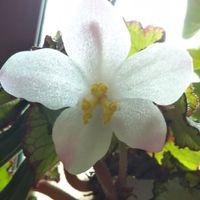 レックスベゴニア エスカルゴのお花  う...