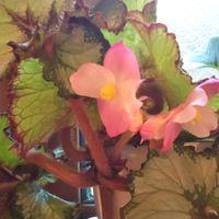 レックスベゴニア エスカルゴのお花  あ...