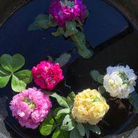 ストック植えつけ後に上の花を切らねば...