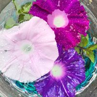 2020.7.9梅雨中の朝顔を琉球ガラスの水...