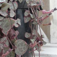 ハートカズラのユニークなお花 ハート型...