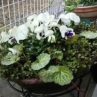 2019.4.4 水槽鉢の中心に季節の花をポッ...