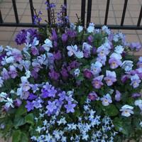 紫の花を集めました。春先の寄せ植え。 ...