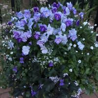 紫の小花を集めました。  ビオラ、かす...