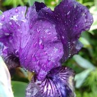 ジャーマンアイリス(紫)