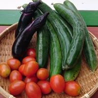 野菜の収穫  いよいよきゅうりの収穫も...