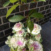 昨日、花屋さんから頂きました葉牡丹を...