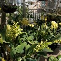Den.speciosumの開花です。温室(無加温...