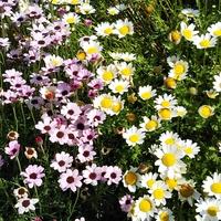 花の美術館の 庭の花、小花の色の対比が...