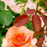 薔薇 ブラスバンド 今年の6月、結婚記念...
