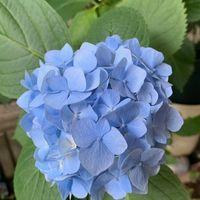 令和2年5月30日 玄関先の紫陽花ブルー