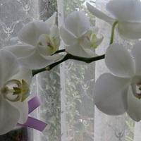ミニ胡蝶蘭を安く購入し、切り花にしまし...