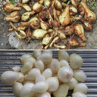 2⃣植えて収穫した玉ねぎ...🔶小さくて半...