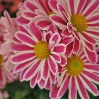 スプレー菊セザンヌ、フランスの有名な...