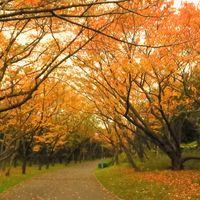 桜並木の遊歩道も紅葉してきました~