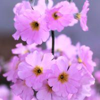 爽やかピンク色のサクラソウの仲間です~