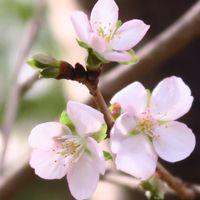 十月桜、可愛く、花持ち良くて~
