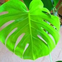 モンステラ、室内の観葉植物には欠かせ...