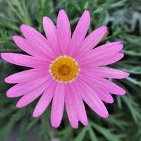 マーガレット、冬の花に欠かせないです~