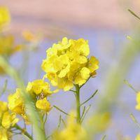 ナノハナは花菜とも呼ばれ、春を告げる...