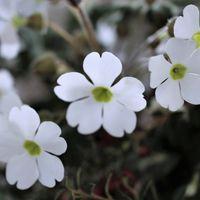 サクラのような形で波打たない白い花弁...