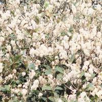 ギンモクセイ銀木犀、実際は白い花で 香...