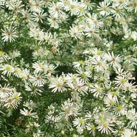 クジャクソウ孔雀草、繊細な花が埋め尽...