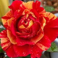先日花友さんに頂いたバラ 目を引く❗️