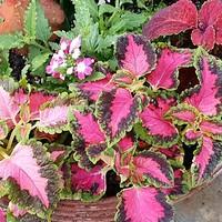 夏の寄せ植えです。  コリウスの赤が映...