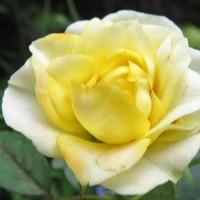 黄色いミニバラの拡大撮り