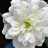 白いミニバラの花も拡大撮り