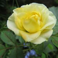 見てのとおりミニバラの花...色も変わり...
