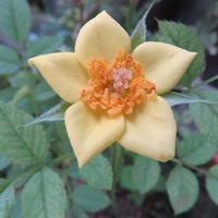 星の形で黄色く咲いたミニバラの花