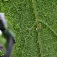 ぶどうの葉についた虫 大きさ2mmくらい ...