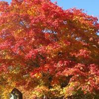 モミジの紅葉が、とても綺麗。葉が大き...