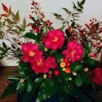 庭の山茶花、観賞用唐辛子、南天、アオ...