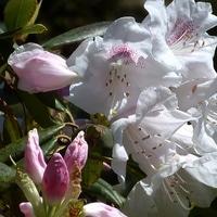 写真撮影の最後に石楠花の花が一株咲い...