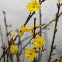 オウバイ  去年より早く 咲き始めました。