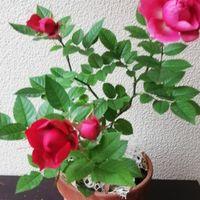 ミニバラ ゆっくり、ゆっくり咲いていま...