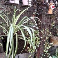 2⃣📷庭先側面の杉焼き鉢に植えている🍂ナ...
