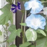 「朝顔4種」📷20170804 鉢植え  写真の整...