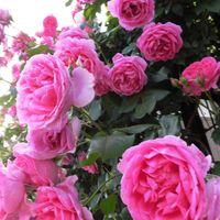 [パレード]LCL 美しいバラ、パレード。...